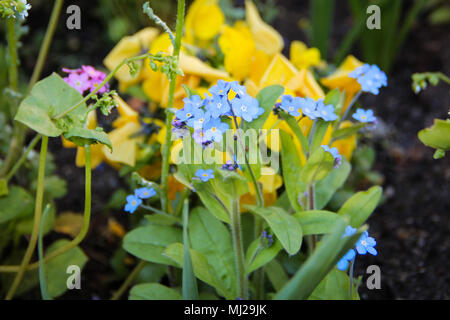 Small purple flowers with yellow center and fluff on them stock bush of small purple and yellow street flowers blue flower forget me not myosotis in brussels belgium stock photo mightylinksfo Image collections