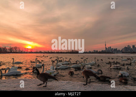 Swans and Canada Geese on the lake on Toronto Skyline Background, Sunset Sky - Stock Photo