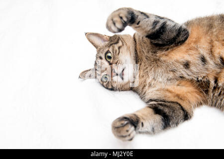 Tabby cat lying down with white background,istanbul - Stock Photo