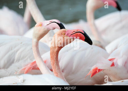 Portrait of a beautiful pink flamingos photographed in Camargue - Stock Photo