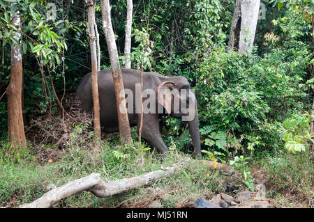 Sen Monorom Cambodia, Asiatic elephant walking through forest - Stock Photo