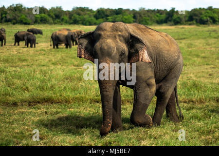 Small asian elephant standing and looking on camera in national park in Sri lanka. - Stock Photo