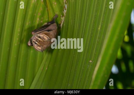 Pygmy Fruit-eating Bat, Dermanura phaeotis, Phyllostomidae, Corcovado National Park, Osa Peninsula, Costa Rica, Centroamerica - Stock Photo