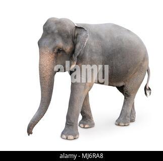 Indian elephant isolated on white - Stock Photo