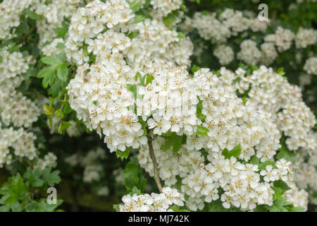 Blossom on a hawthorn tree (crataegus monogyna), also known as as a May-Tree or Mayblossom becuase of the month in which it usually flowers. - Stock Photo