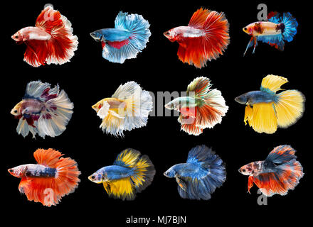 Collection of colorful Siamese fighting fish. Mixed beautiful betta. - Stock Photo
