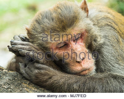 This rhesus macaque was photographed in natural light in a forest in Nepal. - Stock Photo