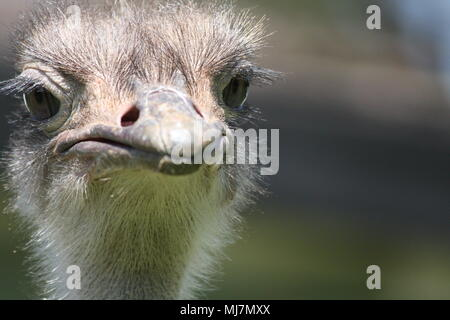 close up of an ostrich - be careful of that beak - Stock Photo