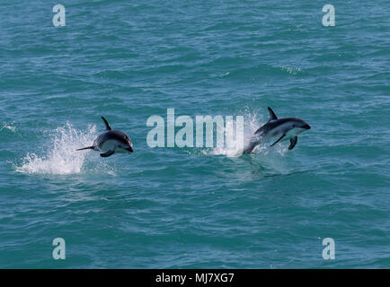 Two dusky dolphins (Lagenorhynchus obscurus) jumping out of the water near Kaikoura, New Zealand. These dolphins are known for their acrobatics. - Stock Photo