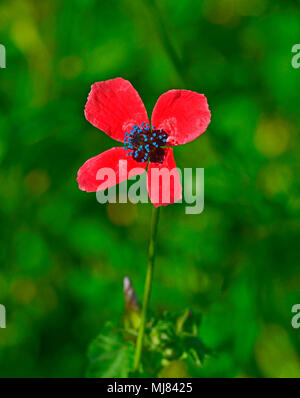 Close up of Papaver hybridum Rough Poppy  growing wild in the Cyprus countryside - Stock Photo