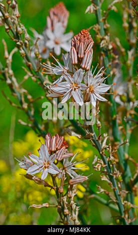 Close up of the Asphodelus aestivate growing wild in the Cyprus countryside - Stock Photo
