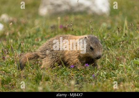 Baby marmot in the grass - Stock Photo