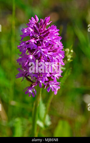 Close up of the Anacamptis pryamidalis Pyramidal Orchid growing wild in the Cyprus countryside - Stock Photo