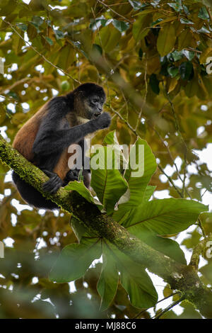 Central American Spider Monkey - Ateles geoffroyi, endangered spider monkey from Cental American forests, Costa Rica. - Stock Photo