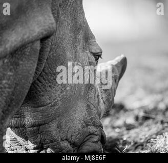 Detailed, close-up side view of Southern White rhinoceros head (Ceratotherium simum) outside in sunshine. Arty, black & white animal photography. - Stock Photo