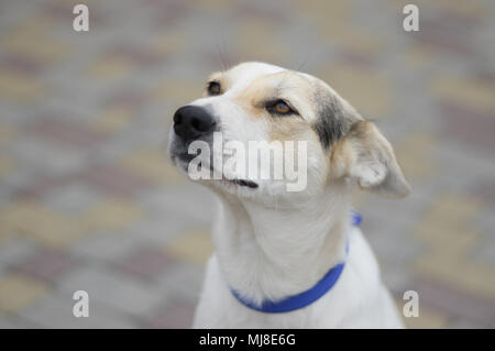 Street portrait of cross-breed white dog looking up and dreaming about fly - Stock Photo