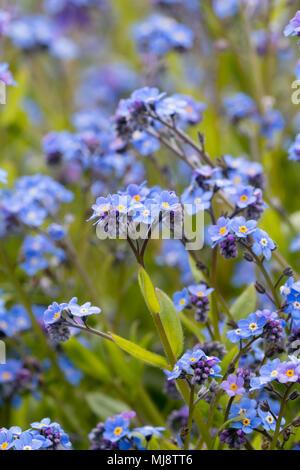 Blue spring flowers of the biennial cottage garden wood forget me not, Myosotis sylvatica - Stock Photo