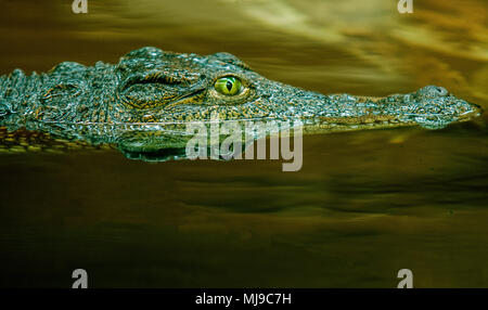 Crocodile side view in water - Stock Photo