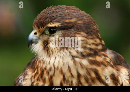 Merlin (Falco columbarius aesalon) close up in the uk - Stock Photo