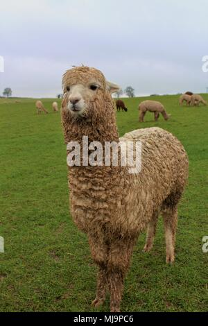 A female Alpaca in a field on an Alpaca farm in the UK, with others from her herd behind her. - Stock Photo