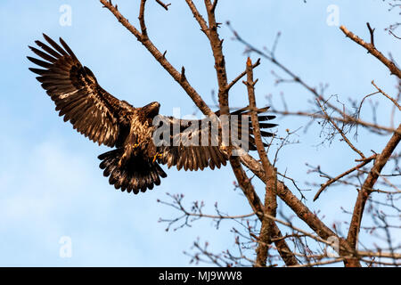 Picture from under of a young Bald Eagle landing on a tree in Crescent Beach, British Columbia, Canada - Stock Photo