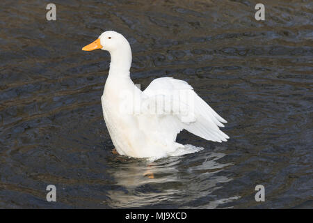 White, domestic duck, Pekin duck, rising up out of rippling water, with wings extended backward. - Stock Photo