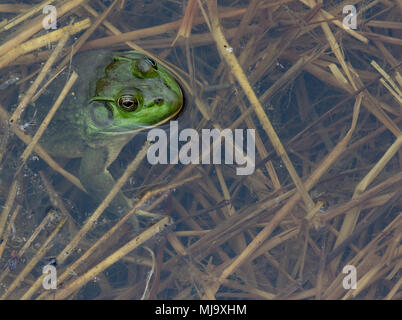 Green American bullfrog coming up for air in a reed-filled pond. - Stock Photo
