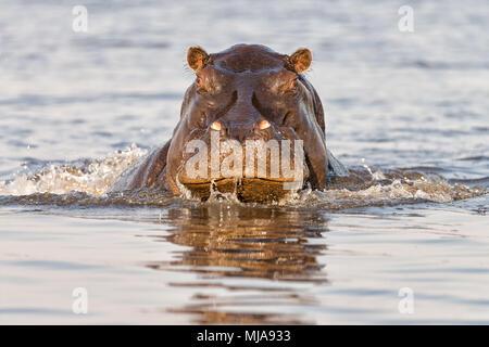 Angry hippopotamus (Hippopotamus amphibius) charging the boat on the Chobe River between Namibia and Botswana.