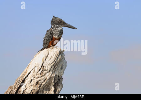 Female giant kingfisher (Megaceryle maxima) on a tree stump looks for fish on the Chobe river, Botswana. This is the largest kingfisher in Africa - Stock Photo