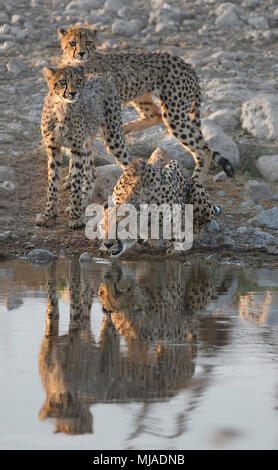 female cheetah and two cubs drinking at a water hole in Etosha National Park win early morning light and reflections in the water - Stock Photo