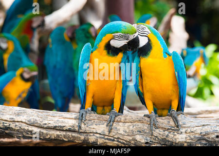 A pair of blue-and-yellow macaws perching at wood branch in jungle. Colorful macaw birds in forest.