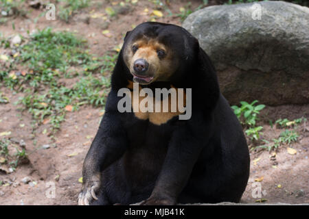 An asia black bear - Stock Photo
