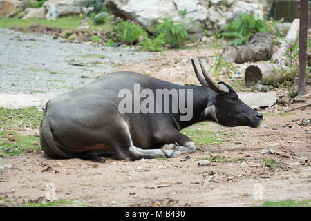 a black buffalo crouch on ground - Stock Photo