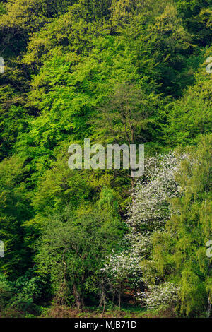 Typical German deciduous forest in spring, Mülheim an der Ruhr, Germany - Stock Photo