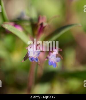 Collinsia Parviflora - Stock Photo