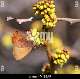 Callophrys augustinus - Stock Photo