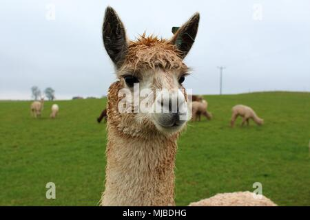 A female Alpaca in a field on a UK Alpaca farm, with others from her herd behind her. - Stock Photo