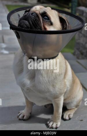 A one year old male Pug dog wearing a protective collar after castration. - Stock Photo