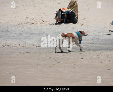 Dog walking on the beach wearing a scarf. Praia do Rosa, Brazil - Stock Photo