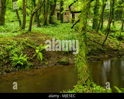 Ireland, Wexford county, hut on the stream course in the coastal primeval forest of the Hook pensinsula, blossoming wild garlic, ivy, ferns, mossy trunks - Stock Photo