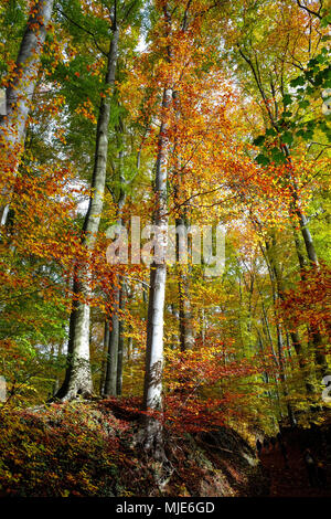 Coloured autumn wood in the Siebengebirge (hill range of the German Central Uplands) - Stock Photo