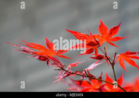 shining red leaves of a Japanese maple in front of blurred grey background - Stock Photo