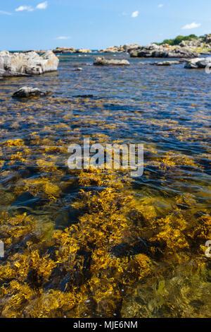 Algae on the coast in front of Bølshavn, Europe, Denmark, Bornholm, Bølsbakke, - Stock Photo