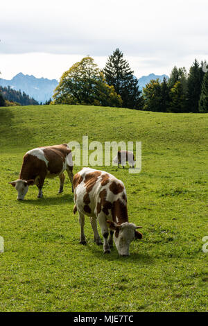 Cows on the alp - Stock Photo