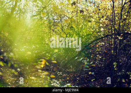 colorful leaves in a beech forest in autumn, backlight - Stock Photo