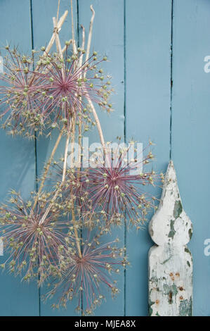 Allium flowers as a wall decoration - Stock Photo