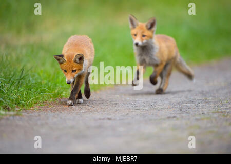 Red Fox, vulpes vulpes, Two Young Foxes, Germany, Europe - Stock Photo