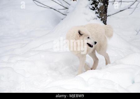 Arctic Wolf (Canis lupus arctos) in the snow - Stock Photo