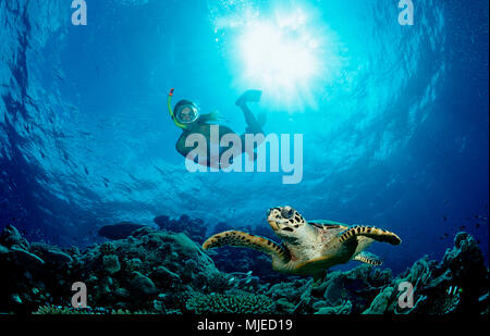Hawksbill Turtle and Skin Diver, Eretmochelys imbricata, Maldives, Indian Ocean, Meemu Atoll - Stock Photo