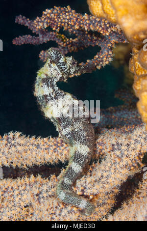 Pacific Seahorse, Hippocampus ingens, La Paz, Baja California Sur, Mexico - Stock Photo